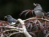 Dark -eyed Juncos Mom & Dad With Food