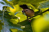 female Yellow warbler with beak full of insects, Phippsburg, Maine summer, bird with food in Oak leaves, tree canopy