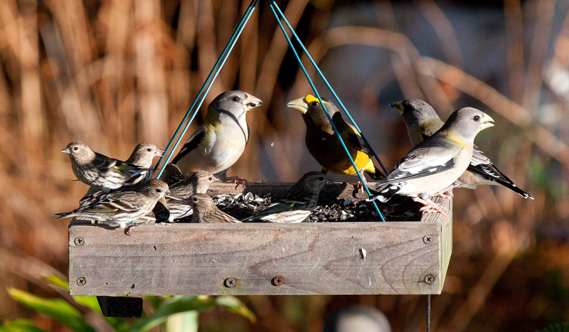 Evening grosbeaks, one male and three females with Pine siskins on the left, feeder birds in early winter, Phippsburg, Maine