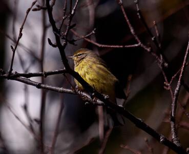 Chestnut Sided warbler, Phippsburg Maine