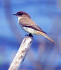 Eastern phoebe perched on stick, left facing side view, male. Phoebes are migratory in Maine. They depend mostly on insects for food.