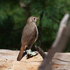 I spotted this Spotted Thrush, also called a Hermit Thrush in the woods on March 27, 2013 on Small Point, Phippsburg, Maine