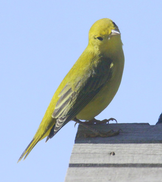 Common Yellow Warbler, female perched, Phippsburg Maine