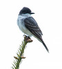 Eastern Kingbird perched, Phippsburg, Maine May 17