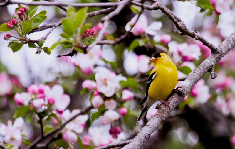 American Goldfinch, male, perched in apple tree in bloom, left facing, May, 2012, Phippsburg Maine