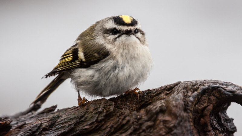 Gold Crowned Kinglet, Phippsburg, Maine. This is our smallest bird next to hummingbirds.