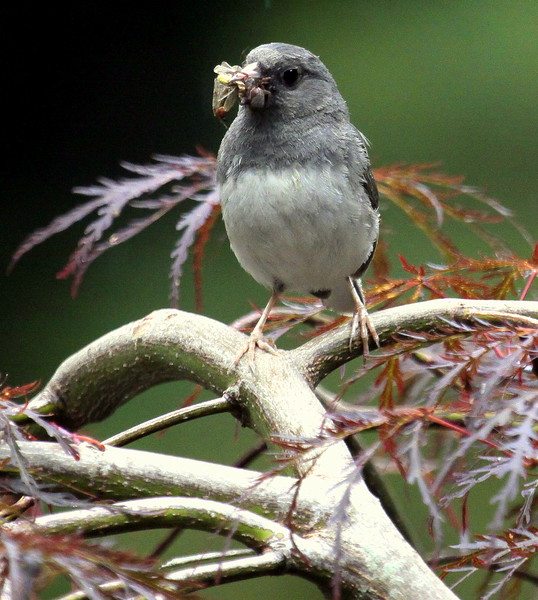 Dark-eyed Junco, Male With Food