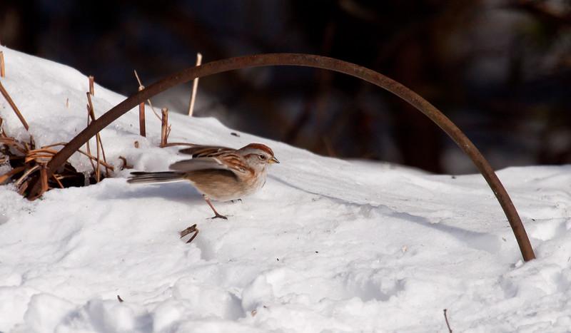 American Tree sparrow in snow, Phippsburg, Maine winter