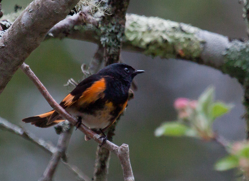 American Redstart, male in spring courtship display, May, Phippsburg, Maine, brilliant orange  bird