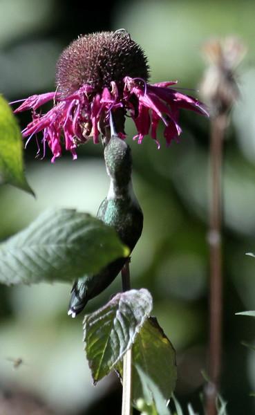 Hummingbird Perched Feeding On Monarda