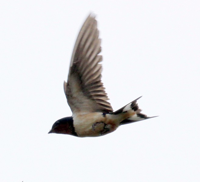 Barn Swallow in flight, Phippsburg Maine