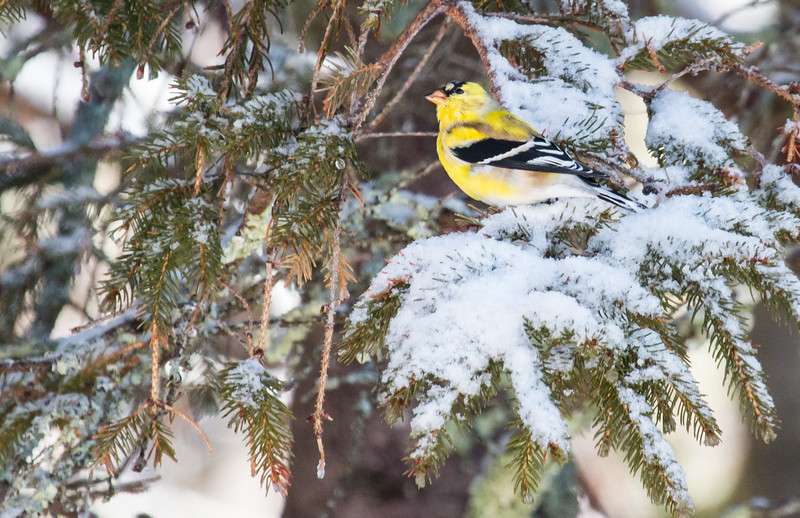 American goldfinch in breeding plumage in spring snow, April 16 Phippsburg, Maine