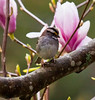 White-throated sparrow In Magnolia