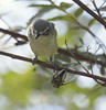 Blue-headed Vireo with cicada, Phippsburg Maine