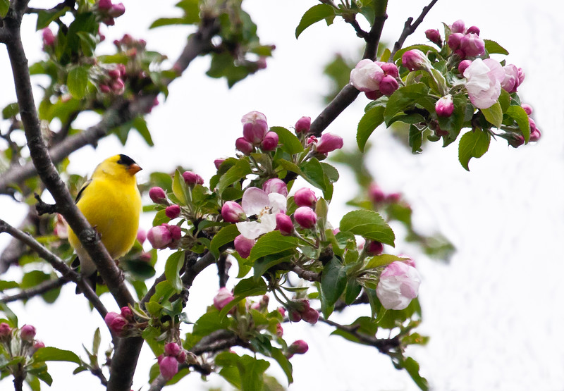 American Goldfinch, male in apple tree in bloom, May, Phippsburg Maine