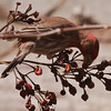 House finch, male, eating rose hips, Maine, April nature, wildlife, photograph, photography, image, behavior, bird, birding, Maine