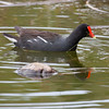 Common Moorhens are related to Purple Gallinules and American Coots. They are sometimes called Common Gallinules. This one is in breeding plumage with a bright red and yellow beak. It is foraging for food. They pick insects from the bottom and from water plants. They are a swamp or wetland. bird. I once saw one on the north end of The New Meadows River in North Bath, Maine. They are reported every year in southern Maine.