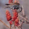 European starling eating Staghorn sumac, Phippsburg, Maine nature, wildlife, photograph, photography, image, behavior, bird, birding, Maine
