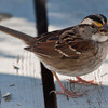 White-throated sparrow with seed, Phippsburg Maine nature, wildlife, photograph, photography, image, behavior, bird, birding, Maine