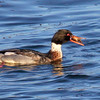 Common Merganser Drake With Crab nature, wildlife, photograph, photography, image, behavior, bird, birding, Maine