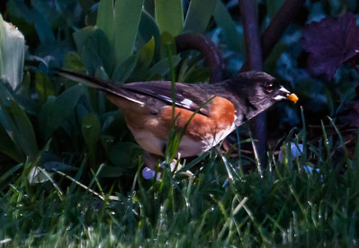Pipilo erythrophthalmus, Eastern Towhee, Phippsburg, Maine, early May, a migratory songbird in MaineEastern Towhee, Phippsburg, Maine, early May, a migratory songbird in MaineEastern Towhee, Phippsburg, Maine, early May, a migratory songbird in MaineEastern Towhee, Pipilo erythrophthalmus pair  foraging for seeds on May 1st, Phippsburg Maine. Happy May Day! A migratory songbird in Maine.