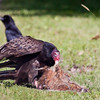 Turkey vulture eating carrion, I think a woodchuck, with American crow in the background. Phippsburg Maine June nature, wildlife, photograph, photography, image, behavior, bird, birding, Maine