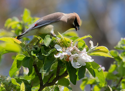 Cedar Waxwings eating apple blossoms, Phippsburg Maine May