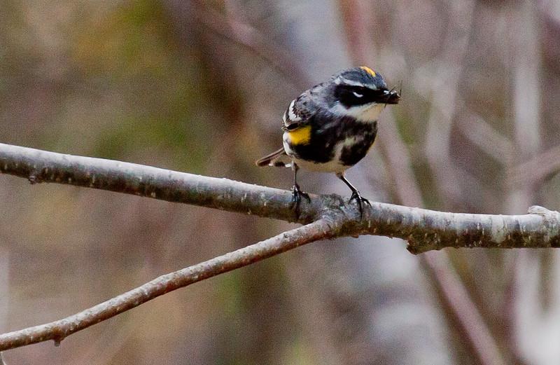 Yellow-rumped warbler male with bill full of spiders, Phippsburg Maine nature, wildlife, photograph, photography, image, behavior, bird, birding, Maine