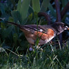 Eastern Towhee, Pipilo erythrophthalmus pair  foraging for seeds on May 1st, Phippsburg Maine. Happy May Day! A migratory songbird in Maine.