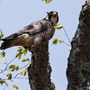 Peregrine Falcon with pigeon for lunch, Maine, May