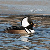Ring-necked duck, a rare bird to see in the winter months in Maine, January 7, 2014, Woolwich, Maine