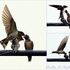 Barn Swallow in flight feeding a fly to her fledglings, summer, Phippsburg, Maine. This is a collage of several photos in a series