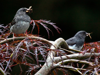 Dark eyed juncoes male and female with insects ready to go into their nest to feed chicks, Phippsburg Maine, July, 2010 nature, wildlife, photograph, photography, image, behavior, bird, birding, Maine