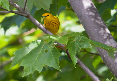Yellow warbler male with caterpillar in canopy of maple trees, Phippsburg Maine summer, feeding its young nature, wildlife, photograph, photography, image, behavior, bird, birding, Maine