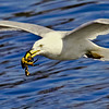 Herring Gull Flying With Crab nature, wildlife, photograph, photography, image, behavior, bird, birding, Maine