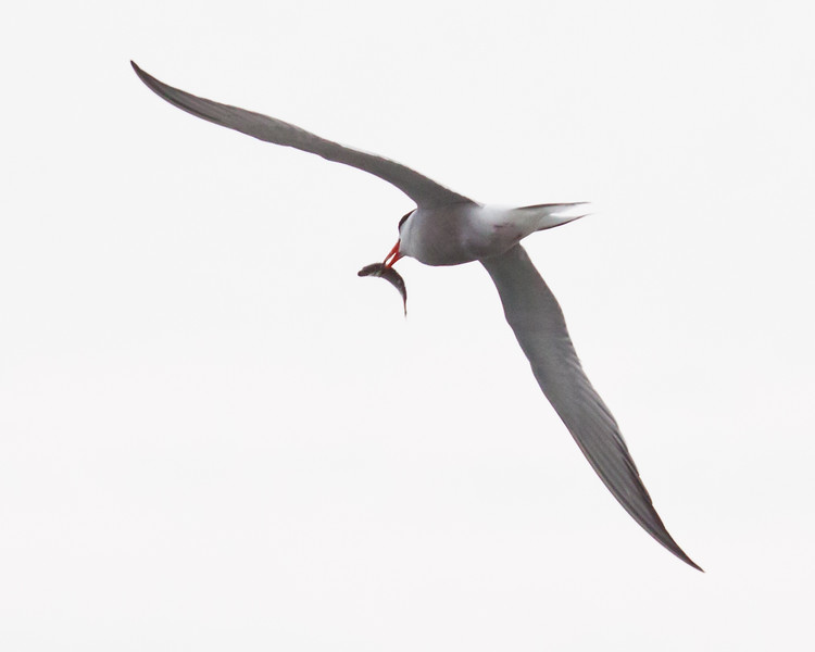 Common tern adult flying with fresh fish, Small Point Harbor, The Branch, Phippsburg, Maine nature, wildlife, photograph, photography, image, behavior, bird, birding, Maine