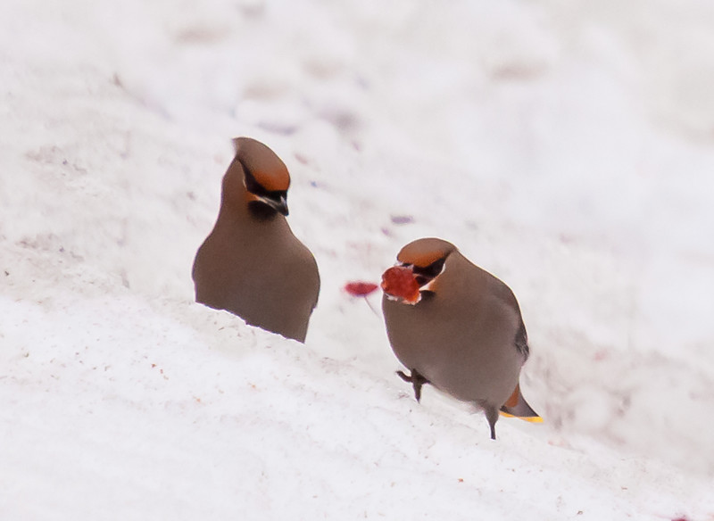 Bohemian waxwings in snow eating crab apples, Phippsburg Maine nature, wildlife, photograph, photography, image, behavior, bird, birding, Maine