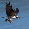 Osprey nature, wildlife, photograph, photography, image, behavior, bird, birding, Maine