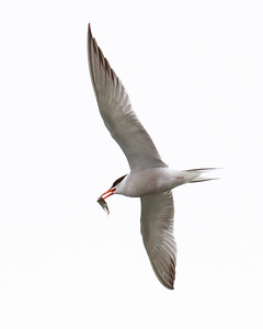 Common tern in flight with small fish, PHippsburg, Maine in spring. Common terns are very migratory in Maine nature, wildlife, photograph, photography, image, behavior, bird, birding, Maine