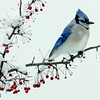 A Blue Jay in the snow perched on Crab Apple branch, winter, Phippsburg, Maine