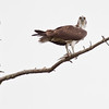 Osprey perched with fish in talons nature, wildlife, photograph, photography, image, behavior, bird, birding, Maine