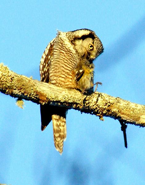 Northern Hawk Owl with White Winged Crossbill, female nature, wildlife, photograph, photography, image, behavior, bird, birding, Maine , bird eating other bird species