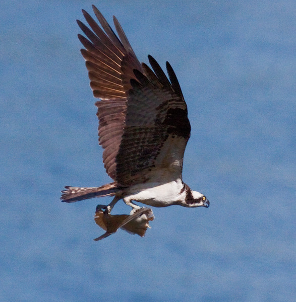 Osprey with flounder, flight, Totman Cove, Phippsburg Maine nature, wildlife, photograph, photography, image, behavior, bird, birding, Maine