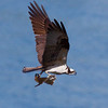 Osprey with flounder, flight, Totman Cove, Phippsburg Maine nature, wildlife, photograph, photography, image, behavior, bird, birding, Maine
