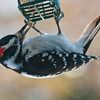 Hairy Woodpecker on suet, Phippsburg Maine Male nature, wildlife, photograph, photography, image, behavior, bird, birding, Maine