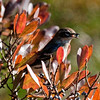 Yellow-Rumped Warbler with Bayberry, Phippsburg Maine nature, wildlife, photograph, photography, image, behavior, bird, birding, Maine