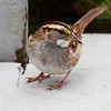 White-throated Sparrow wth sunflower seed, right facing nature, wildlife, photograph, photography, image, behavior, bird, birding, Maine