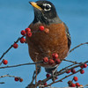North American robin perched in Winterberry branches, Phippsurg Maine nature, wildlife, photograph, photography, image, behavior, bird, birding, Maine