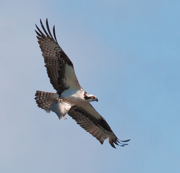 Osprey with flounder, fish, flight, Maine nature, wildlife, photograph, photography, image, behavior, bird, birding, Maine