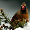 Northern Cardinal, female with food, winter bird, Phippsburg, Maine. Over the past two to three decades, Northern cardinals have expanded their range northward. They are now a common coastal bird in Maine.